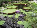 Waterlilies and Lily pads