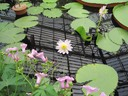 A Water Lily on Center Stage