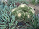 Golden Barrel Cactus with companion
