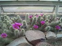 Windowsill Cactus in bloom